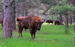 Escapada con cena y  visita a los bisontes en Guardiola del Berguedà