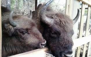 Escapada con visita a los bisontes en Guardiola del Berguedà