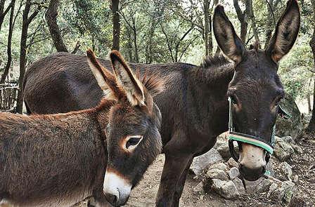 Conoce el burro catalán de Berga en familia