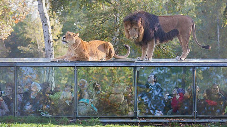 Mercure Maurepas St-Quentin - EDIT_A-Thoiry-depuis-tunnel-verre-demi-enterre-peut-admirer-tigres-lions-tres-pres_0_730_400.jpg