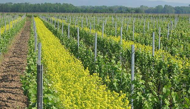Dégustation et découverte au coeur des vignes Alsaciennes