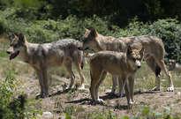 Parc à loups du Gévaudan -