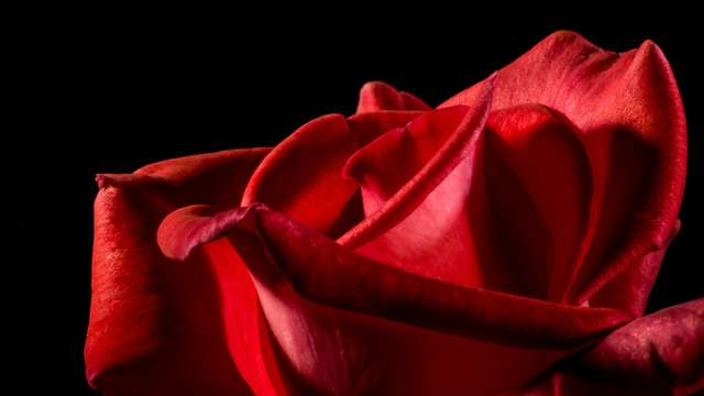 Rosa de regalo
