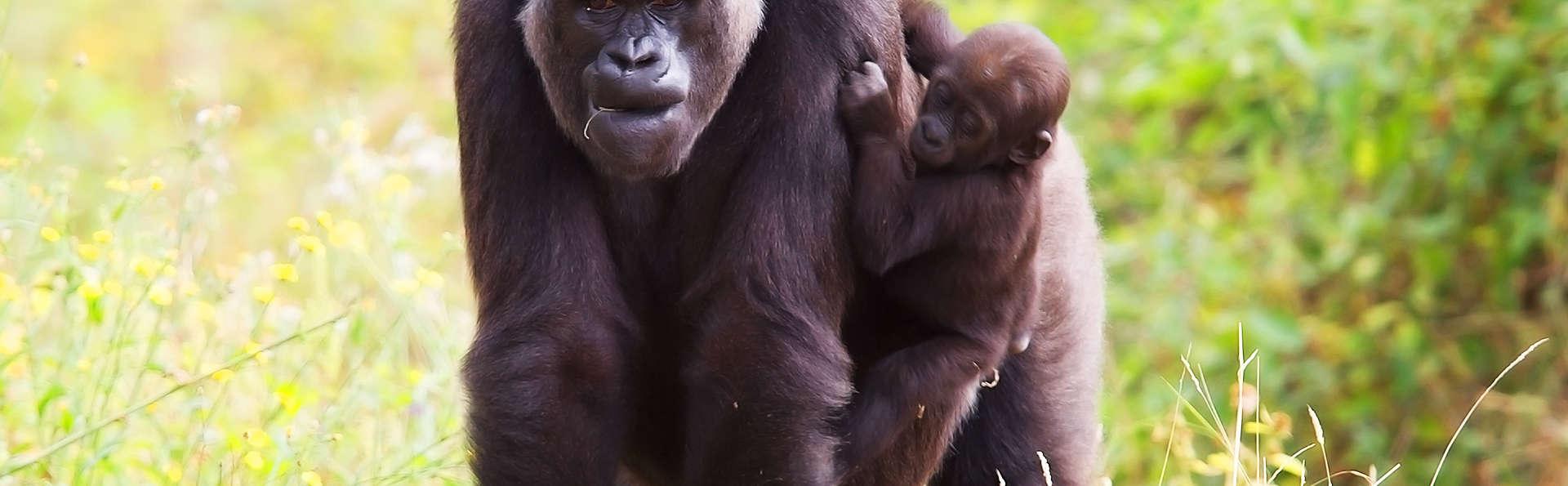 A la découverte des bonobos et gorilles à la Vallée des singes !